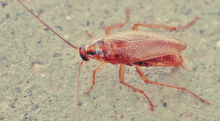 Roaches in Car – How to get rid of them?